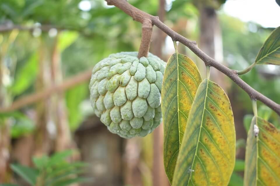 Sugar apple thailand